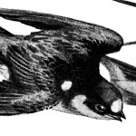 Vintage Illustration of Flying Birds