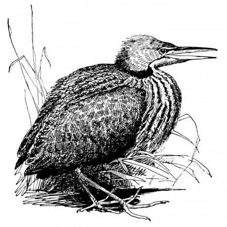 Vintage Ocean Bird Image - Bittern