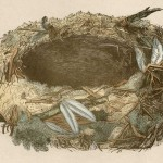 Beautiful Free High Res 1800's Birds Nest Art