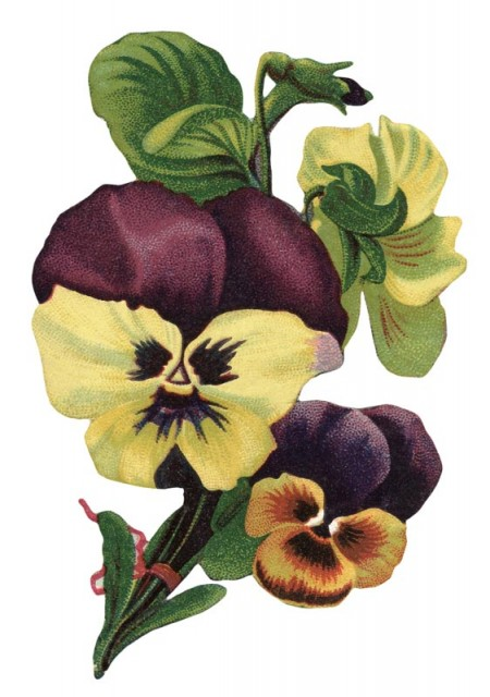 Vintage Garden Pansy Flower Picture - Click for printable image