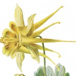 Vintage Botanical Yellow Columbine Flower – With a Free High Res Version