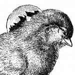 Two Antique Engravings of Hatching Easter Chicks