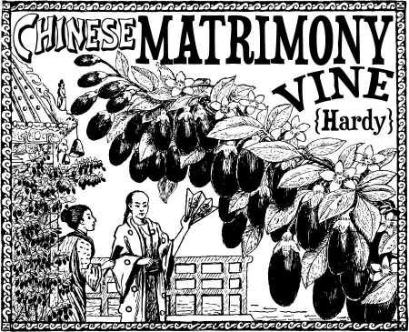 Vintage Chinese Matrimony Vine Ad - Click for printable artwork