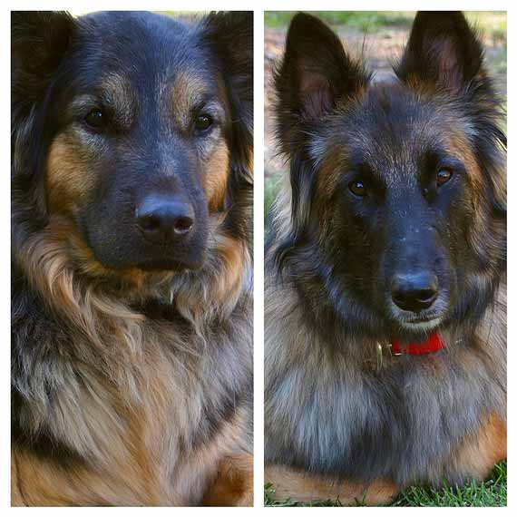 Garden Tour Cast Members: Bear the English Shepherd and Niko the Belgian Tervuren