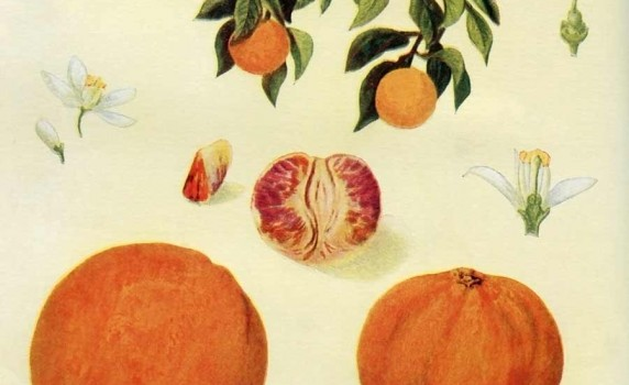 vintage-botanical-print-oranges