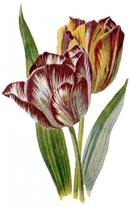 Vintage Flower Botanical Tulip Color Plate to Print