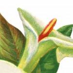 Vintage Easter Lily Clip Art