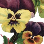 Vintage Picture of Garden Pansy Flowers