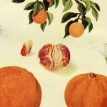 Vintage Botanical Print of Oranges & an Orange Tree